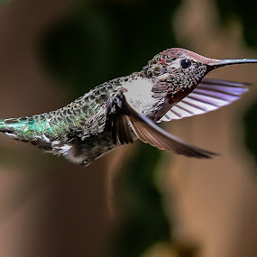 Just another Hummer.... NOT by Jim Malone - Animals Birds ( humming;birds:hummingbirds )