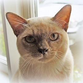 Tilly by Caroline Beaumont - Animals - Cats Portraits ( kitten, cat, chocolate tortie, tilly, burmese )