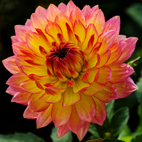 Daisy by Merina Tjen - Lim - Nature Up Close Flowers - 2011-2013 ( dahlia; daisy; red; yellow; garden )