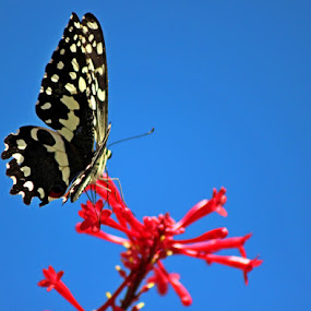 Butterfly by Nico Ebersohn - Animals Insects & Spiders ( blue sky, white, butterfly, black, red flower )