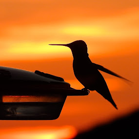 Early Bird Gets the Nectar...  by Campbell McCubbin - Landscapes Sunsets & Sunrises ( orange, dawn, silhouette, hummingbird, sunrise )