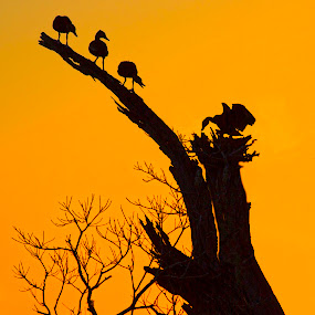 Sunset Silhouettes  by Jacob Padrul - Landscapes Sunsets & Sunrises ( perched, sunset, silhouettes, sunset colors, birds, perched birds,  )
