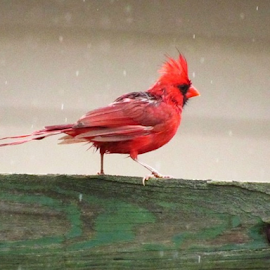Dancing in the Rain by Cathy Elliott-Burcham - Novices Only Wildlife ( spring, rain, bird, cardinal, dance,  )