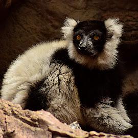 B&W Lemur by Shawn Thomas - Animals Other Mammals