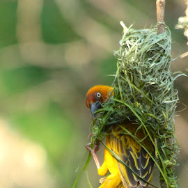 Weaver Builder by Christo W. Meyer - Novices Only Wildlife ( cape weaver )