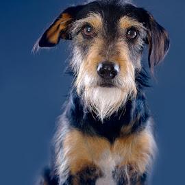 Mafia - looking for a home in Jozi by Phil Anderson - Animals - Dogs Portraits ( medium format, gfx, dog, portrait, fujjifilm )