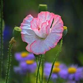 Poppy by Katie McKinney - Flowers Flower Gardens ( purple, nature, green, pink, poppies, poppy, flowers, pretty, garden, flower,  )