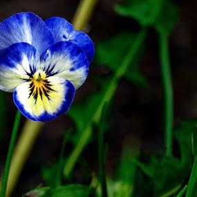 Wild Violet by Glen Sande - Flowers Single Flower ( duluth, flowers & plants, pentax 55mm-300mm, outdoors, glen sande © 2016, plants, spring, pentax k-5 )