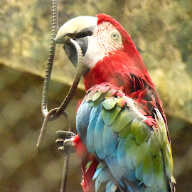 Playboy by Devaleena Sinha - Novices Only Wildlife ( bird, macaw )