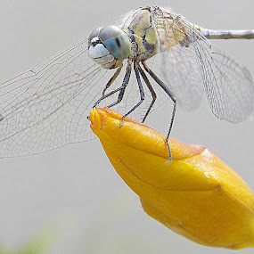Dragonfly by Anudeep Nethi - Nature Up Close Flowers - 2011-2013 ( nature, yellow, dragonfly, golden, flower )