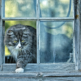 No Pane in the Window by Twin Wranglers Baker - Animals - Cats Portraits