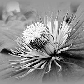 The Inner Beauty of a Clematis - BW by Tina Dare - Black & White Macro ( close up, macro, clematis, bw, nature, up close, black and white, flower,  )