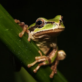 Gaze by Shari Sperandeo-Bell - Animals Amphibians ( plant, frog, holding, green, tree frog, amphibian, calla lilly, stripe, eyes, looking, nature, gazing, gaze, stalk, natural )
