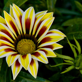 Flower by Jane Fourie - Flowers Single Flower ( flower up close, yellow flowers, colorful, flora, flower,  )