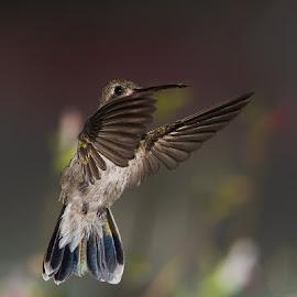 HUMMINGBIRD NIGHT by Alfonso Emmanuel Galina - Animals Birds ( hummingbird, night )