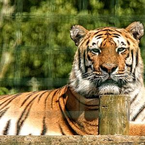 PWP tiger 02.jpg