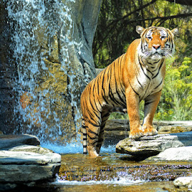 How Do I look? by George Varkanis - Animals Lions, Tigers & Big Cats ( jacksonville, nature, tiger, florida, waterfall, tigers, photography, animal,  )