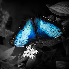 Cool Blue by Marcus Dorsey - Digital Art Animals ( butterfly, selective color, black and white, blue, insects )