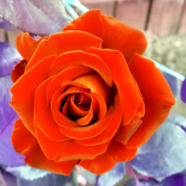 Another Kind of Rose by Ioana Husar - Novices Only Flowers & Plants ( orange, rose, nature, garden, flower )
