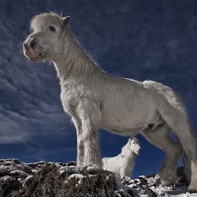 Partners II by Bragi Ingibergsson - Animals Horses ( iceland, animals, horses, brin, bragi j. ingibergsson )
