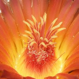 Barrel Cactus by Dawn Hoehn Hagler - Flowers Single Flower ( tucson, macro, cactus flower, arizona, cactus, barrel cactus, flower,  )