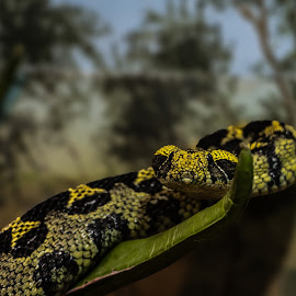 I got my eyes on you. by Kevin Mummau - Animals Reptiles ( attack focus, curl, focus, attack, snakes )