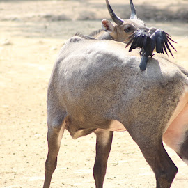 Nilgai with crow by Rohit Lamba - Animals Other ( nilgai with crow )