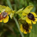 Yellow Bee-orchid