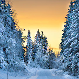 Christmas trees Swedish Lapland  by Ewa Nilsson - Uncategorized All Uncategorized ( sweden, lapland, snow, scandinativa, christmas, trees )