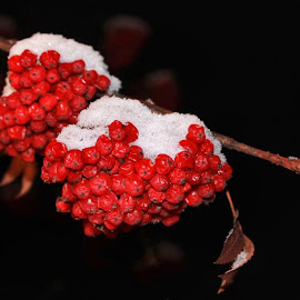Snow Berries by Patricia Phillips - Nature Up Close Other Natural Objects ( berries snow mountain ash )