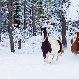 Our Lovely Horses Running just for Fun by Anita Atta - Animals Horses ( galloping, winter, horses, snow, purebred, tennessee walking, running )