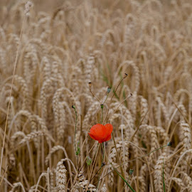 Rye by Pete Klapwijk - Landscapes Prairies, Meadows & Fields