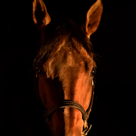 Portrait of a Horse by Jill Beim - Animals Horses ( animals, low key, horse, photography, portrait )