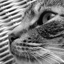 A cat by Łukasz Pokiński - Animals - Cats Portraits ( cat, nature, calmness, portrait, animal )