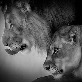 Focus by Shawn Thomas - Black & White Animals (  )