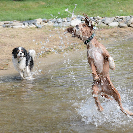 Summertime fun by Steven Liffmann - Animals - Dogs Playing ( water, cavalier, king charles, splashing, jumping, spaniel, cavapoo, puppy, dog )