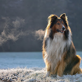 Frozen field by Blaž Ocvirk - Animals - Dogs Portraits ( winter, cold, dog portrait, scottish, morning, shepard )
