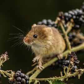 Berry mouse by Garry Chisholm - Animals Other Mammals ( garry chisholm, mouse, nature, wildlife, harvest, rodent )