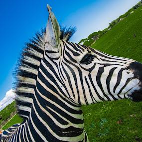 by Albin Bezjak - Animals Horses