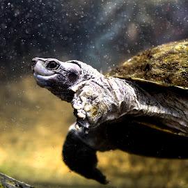 Rising by B Ramanan - Animals Amphibians ( love, tortoise, nature, underwater, peace, asia, wildlife )