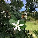 Common Carissa or Natal Plum