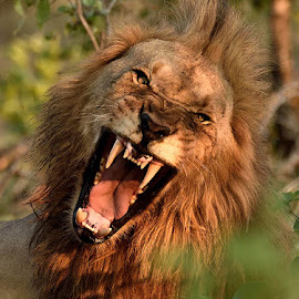 Roar by Andrew Morgan - Animals Lions, Tigers & Big Cats ( wild, lion, nature, sigma, wildlife, big5, nikon, africa, bigcat )