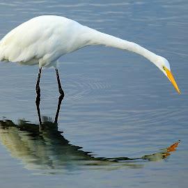 Aigrette et son miroir by Gérard CHATENET - Animals Birds