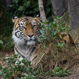 Looking Out by Janet Marsh - Animals Lions, Tigers & Big Cats ( tiger, zoo )