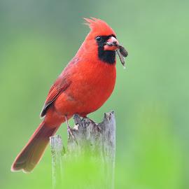 Snack time by Steven Liffmann - Animals Birds ( bird, cardinal, backyard bird, wildlife, bug, closup, portrait )