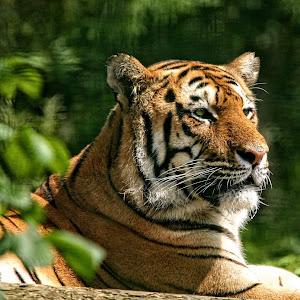 PWP tiger 06.jpg