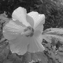Rose of Sharon in the Rain by Marcia Taylor - Black & White Flowers & Plants (  )