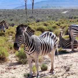 Zebras being Zebras by Claudia Freitas - Animals Other ( #zebras, #nature, #wild, #mammals, #mountains, #family, #stripes, #wildlife )