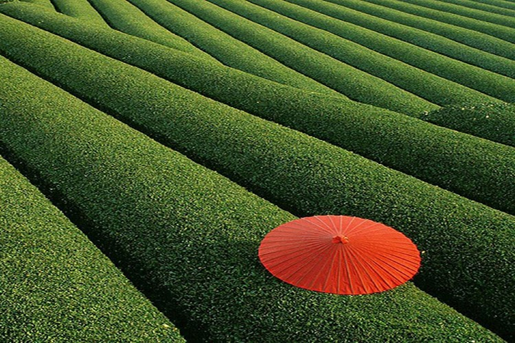 15. Tea Field, China