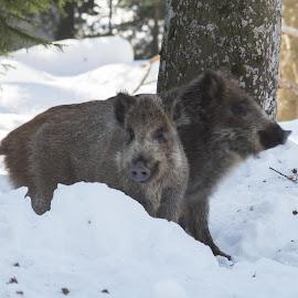 Brother and Sister by Dušan Gajšek - Animals Other ( divja svinja, živali, bavarski gozd, narava )